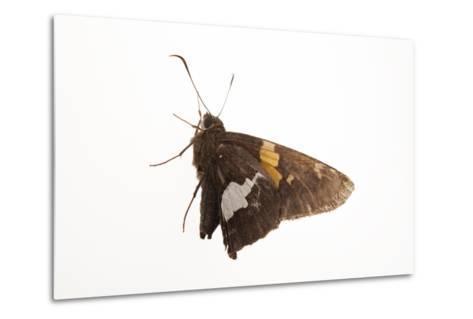 A Silver-Spotted Skipper, Epargyreus Clarus, from a Prairie Woodland Near Cross Lake, Minnesota-Joel Sartore-Metal Print