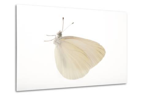 A Mustard White Butterfly, Pieris Oleracea-Joel Sartore-Metal Print