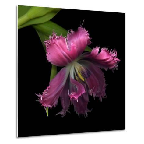 Pink Frazzled Tulip-Magda Indigo-Metal Print