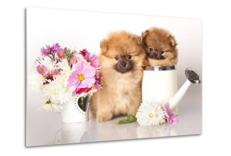 Two German (Pomeranian) Spitz Puppies And Flowers On White Background-Lilun-Metal Print