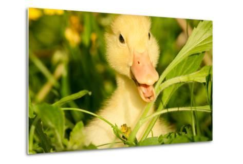 Small Yellow Duckling Outdoor On Green Grass-goinyk-Metal Print