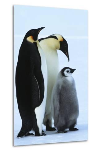 Antarctica Weddel Sea Atka Bay Emperor Penguin Family-Nosnibor137-Metal Print