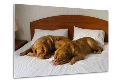 Dogue De Bordeaux Funny Couple In The Bed-vitalytitov-Metal Print