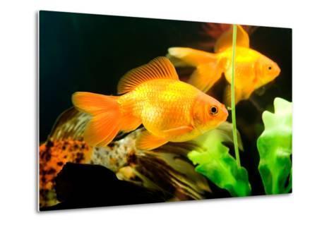 Tropical Aquarium Fish Macro Shot-PH.OK-Metal Print