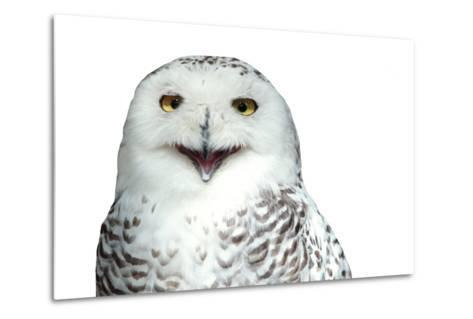 Snowy Owl (Bubo Scandiacus) Smiling And Laughing Isolated On White-l i g h t p o e t-Metal Print