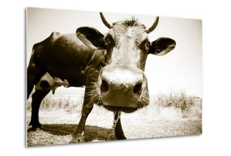 Funny Cow Stains-ongap-Metal Print