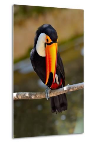 Toucan Outdoor - Ramphastos Sulphuratus-geanina bechea-Metal Print