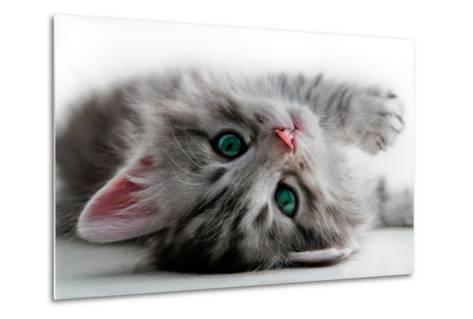 Kitten Rests - Isolated-Orhan-Metal Print