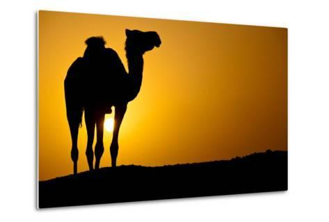 Sun Going Down in a Hot Desert: Silhouette of a Wild Camel at Sunset-l i g h t p o e t-Metal Print
