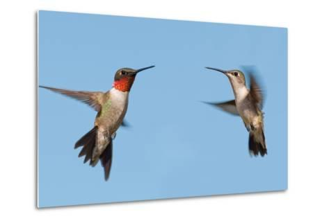 Two Ruby-Throated Hummingbirds, A Male And Female, Flying With A Blue Sky Background-Sari ONeal-Metal Print