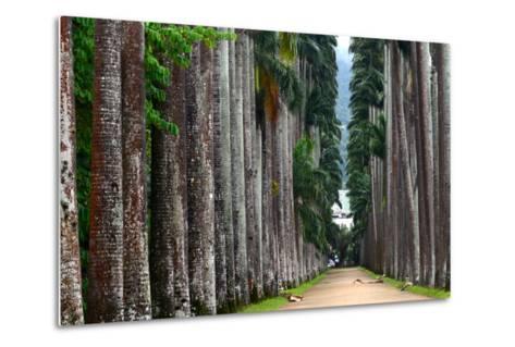 The Palm Alley In The Botanical Garden In Rio De Janeiro-xura-Metal Print