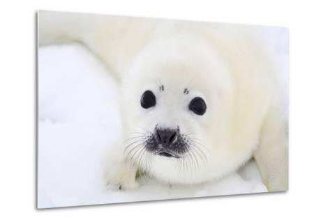 Baby Harp Seal Pup On Ice Of The White Sea-zanskar-Metal Print