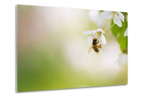 Honey Bee Enjoying Blossoming Cherry Tree On A Lovely Spring Day-l i g h t p o e t-Metal Print