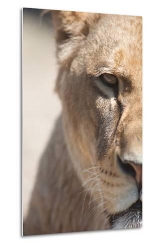 Close-Up Portrait Of A Majestic Lioness (Panthera Leo)-l i g h t p o e t-Metal Print