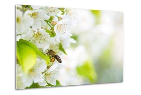 Honey Bee In Flight Approaching Blossoming Cherry Tree-l i g h t p o e t-Metal Print