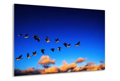 Canada Geese Flying at Sunrise-Chase Swift-Metal Print