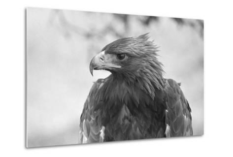Head of a Golden Eagle--Metal Print