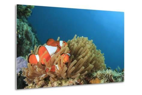 Clown Anemonefish in Anemone on Underwater Coral Reef-Rich Carey-Metal Print