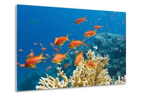 Coral and Fish in the Red Sea.Egypt-Irochka-Metal Print