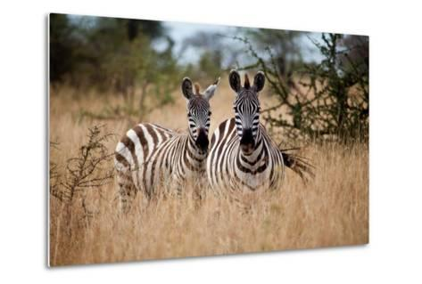 Zebras on the Savannah-Gary Tognoni-Metal Print