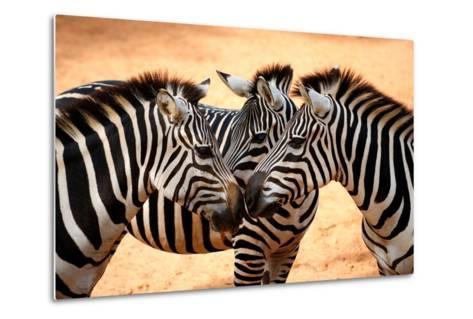 Three Zebras Kissing-worakit-Metal Print