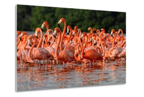 Flock of Greater Flamingos-zixian-Metal Print