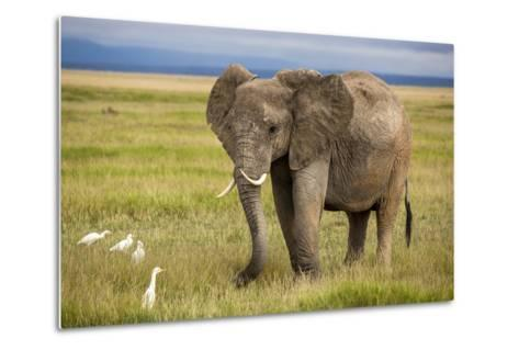 Elephant with Curved Tusks-dmussman-Metal Print