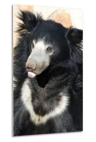 Indian Sloth Bear-Spaxia-Metal Print