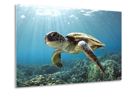 Hawaiian Green Sea Turtle-Swims with Fish-Metal Print