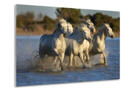White Camargue Horses Running in Water, Provence, France-Jaynes Gallery-Metal Print