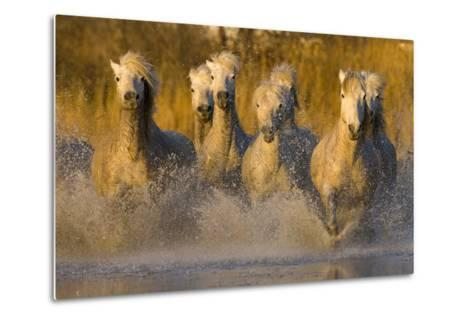 Seven White Camargue Horses Running in Water, Provence, France-Jaynes Gallery-Metal Print