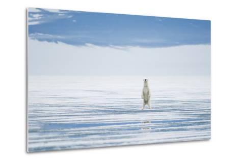 Polar Bear Travels Along Sea Ice, Spitsbergen, Svalbard, Norway-Steve Kazlowski-Metal Print