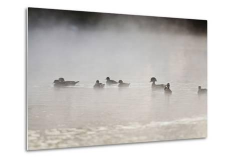 Wood Duck (Aix Sponsa) Flock on Comal River at Sunrise, Texas, USA-Larry Ditto-Metal Print