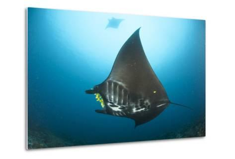 The Reef Manta Ray with Yellow Pilot Fish in Front of its Mouth--Metal Print