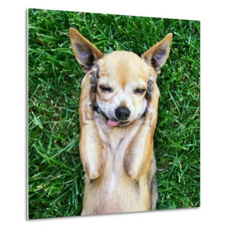 A Cute Chihuahua With His Paws On His Head Covering His Ears-graphicphoto-Metal Print