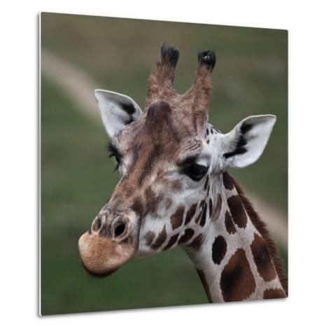 Giraffe - Close-Up Portrait Of This Beautiful African Animal-l i g h t p o e t-Metal Print
