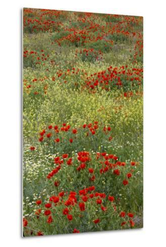 Red Poppy Field in Central Turkey During Springtime Bloom-Darrell Gulin-Metal Print