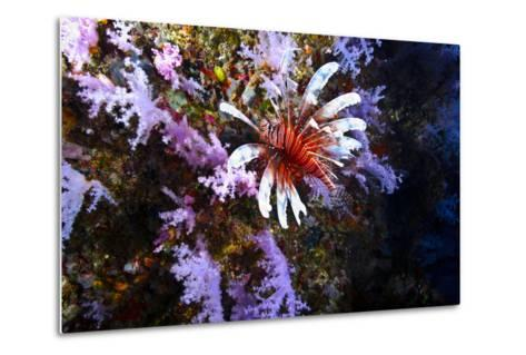 A Lionfish with Venomous Spines Swimming Vertically Up a Coral Wall-Jason Edwards-Metal Print