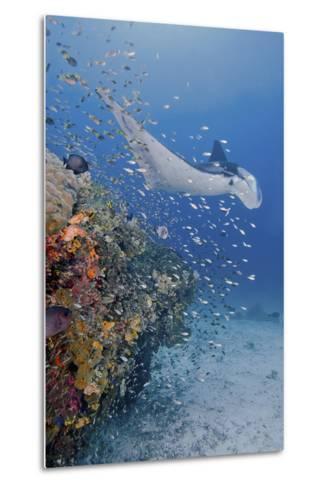 Manta Ray, Fish and Coral, Raja Ampat, Papua, Indonesia-Jaynes Gallery-Metal Print