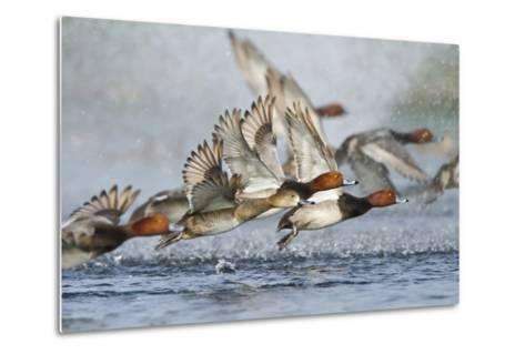 Redhead Duck Flock Flying from Freshwater Pond, Texas, USA-Larry Ditto-Metal Print