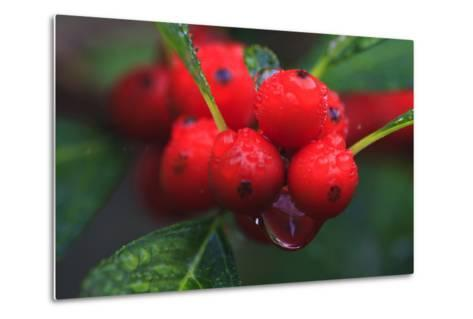 Red Berries with Rain Drops, Maine, USA-Joanne Wells-Metal Print