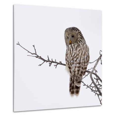 Ural Owl In Natural Habitat (Strix Uralensis)-geanina bechea-Metal Print