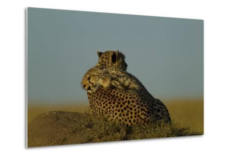 A Juvenile Cheetah, Acinonyx Jubatus, Lies Draped over the Side of its Mother on a Dirt Mound-Beverly Joubert-Metal Print