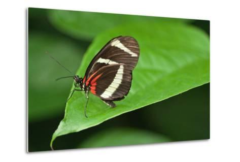 A Hewitson's Longwing Butterfly, Heliconius Hewitsoni-Vickie Lewis-Metal Print