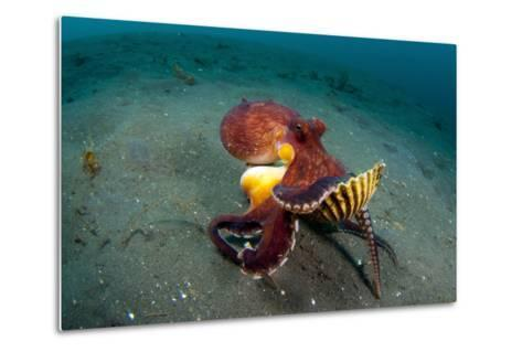 A Coconut Octopus, Lembeh Strait, Sulawesi, Indonesia--Metal Print