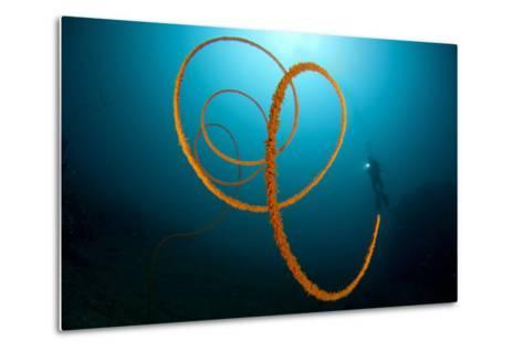 An Orange Wire Coral, Lembeh Strait, Indonesia--Metal Print