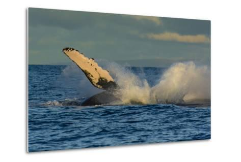 A Humpback Whale Breaches in the Pacific-Ralph Lee Hopkins-Metal Print