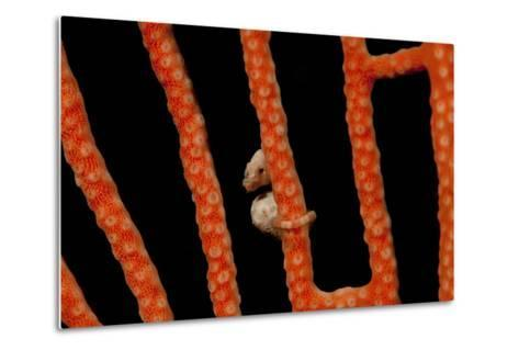 Close-Up of World's Smallest Seahorse, Raja Ampat, Papua, Indonesia-Jaynes Gallery-Metal Print