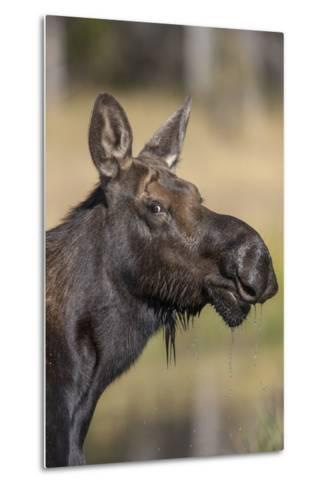 Moose in Watering Hole, Grand Teton National Park, Wyoming, USA-Tom Norring-Metal Print