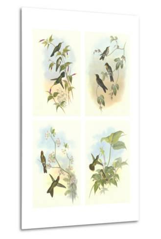 Miniature Gould Hummingbirds--Metal Print